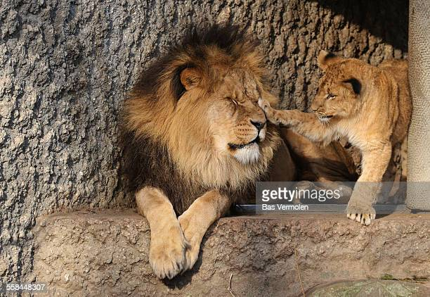 Lion father and young cub