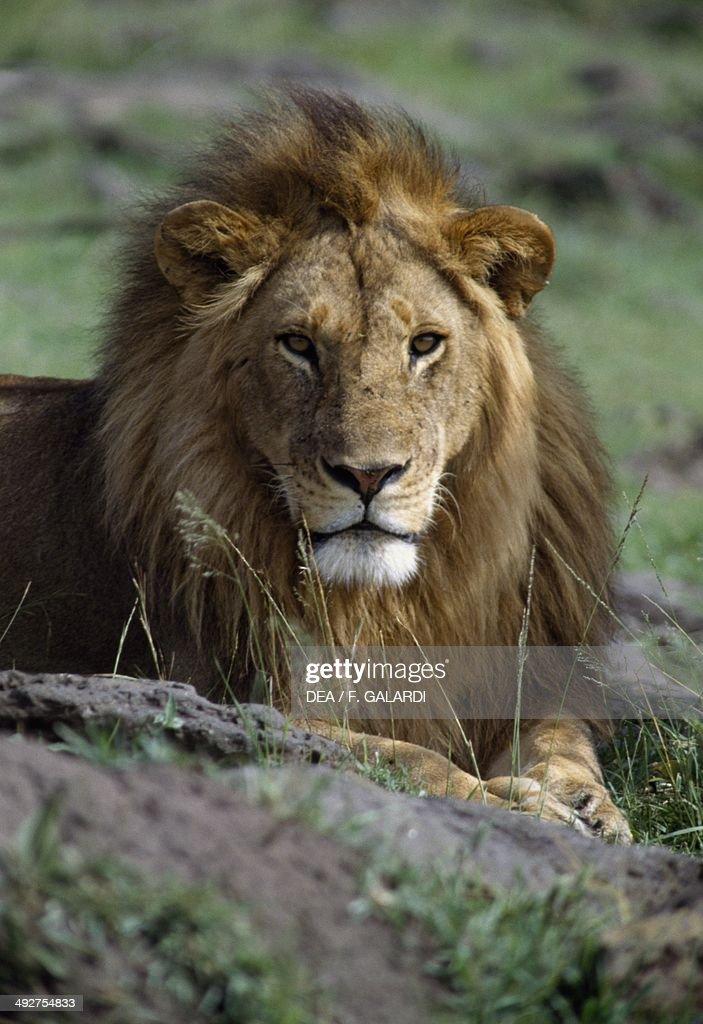Lion (Panthera leo)... : News Photo
