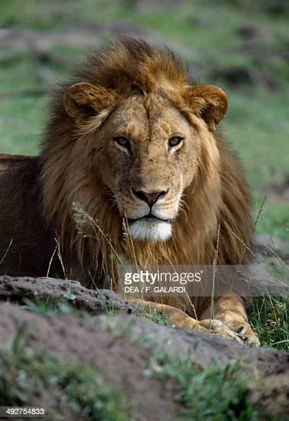 Lion Felidae Masai Mara National Reserve Kenya
