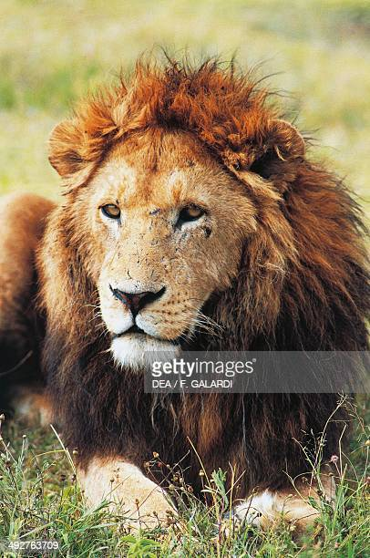 Lion Felidae Ngoro Ngoro Conservation Area Tanzania