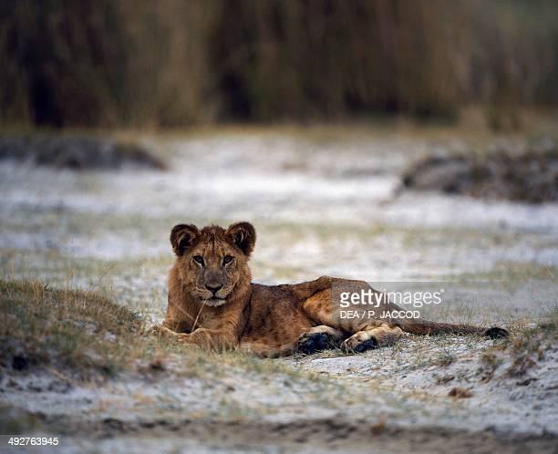 Lion Felidae Rwindi Virunga National Park Democratic Republic of the Congo