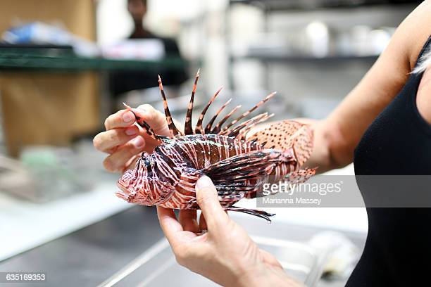 A lion fish being prepared to eat