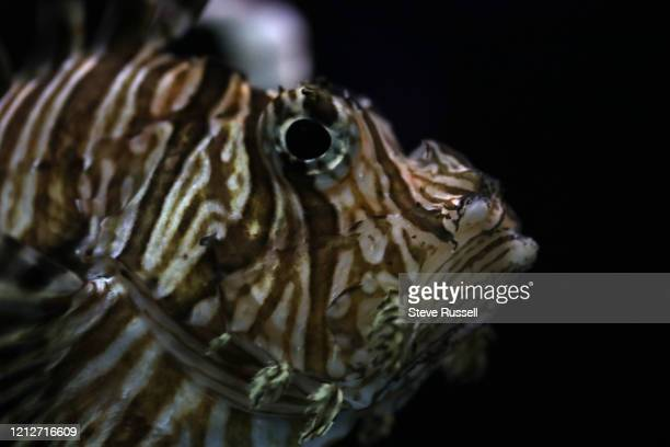 Lion fish swims as the Toronto is Zoo still closed to prevent the spread of COVID-19 during the pandemic in Toronto. May 2, 2020.