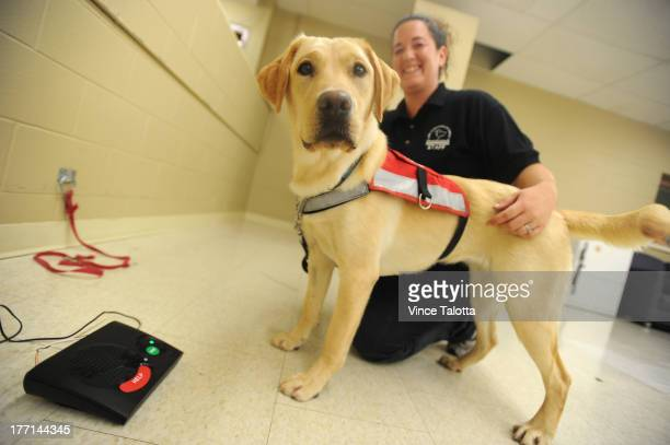TORONTO ON AUGUST 20 Lion Foundation Of Canda diabetic alert dog guide trainer Erika Ott with Nettle a female yellow Labrador trains to hit a the...