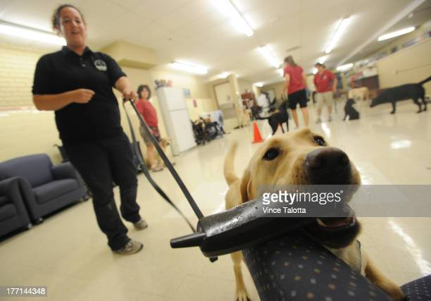 TORONTO ON AUGUST 20 Lion Foundation Of Canda diabetic alert dog guide trainer Erika Ott with Nettle a female yellow Labrador trains to fetch a phone...
