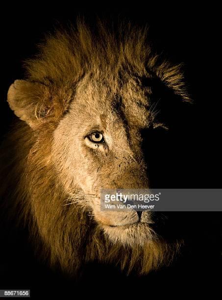 lion (panthera leo), greater kruger national park, south africa - 自然保護区 ストックフォトと画像
