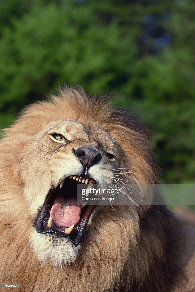Lion growling , Kenya , Africa : Stockfoto
