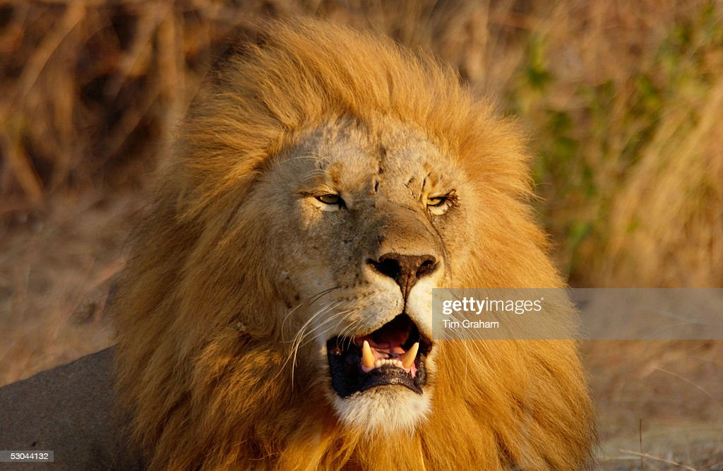 Lion, Tanzania, East Africa : News Photo