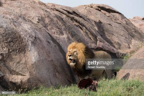 A Lion Guard His Prize
