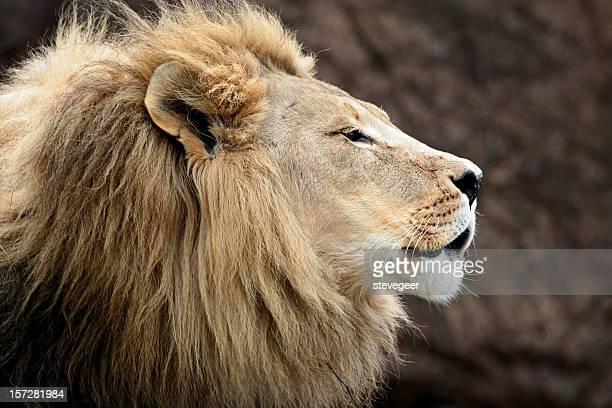 cabeça de leão - animais machos - fotografias e filmes do acervo