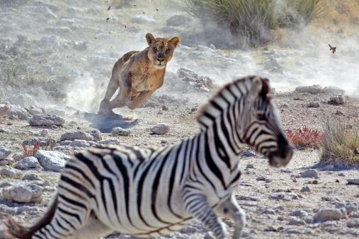 Lion hunting zebra 155320580