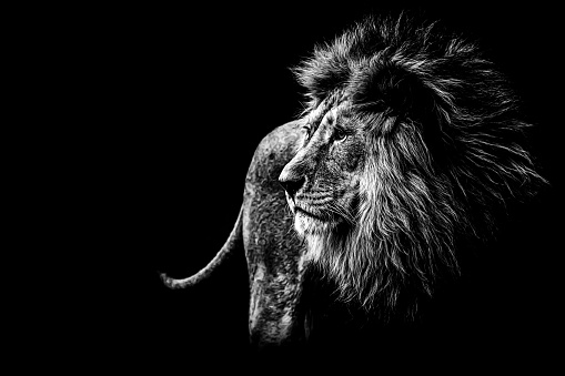 lion in black and white 542197312