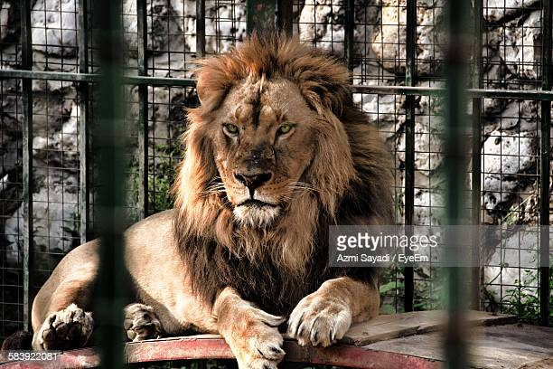 lion in cage - cage stock pictures, royalty-free photos & images