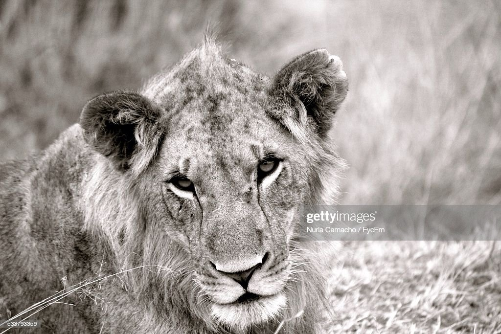 Lion In Grass : Foto stock