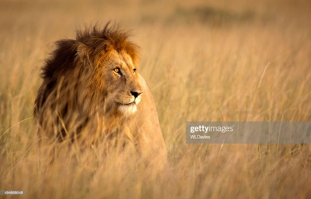 Lion in high grass : Stock Photo