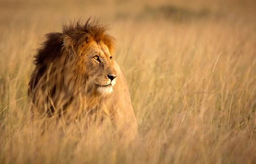 Lion in high grass 494856046