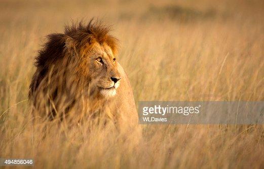 146 836 Photos Et Images De Lion Getty Images