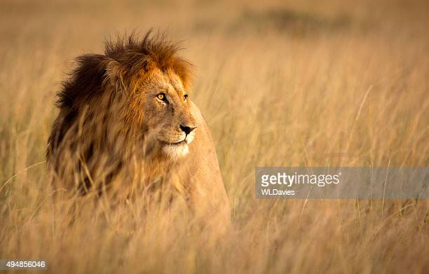 lion in high grass - lion feline stock pictures, royalty-free photos & images