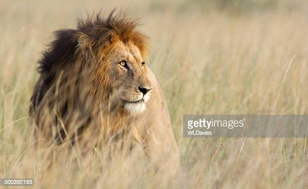 lion in high grass - lion stockfoto's en -beelden