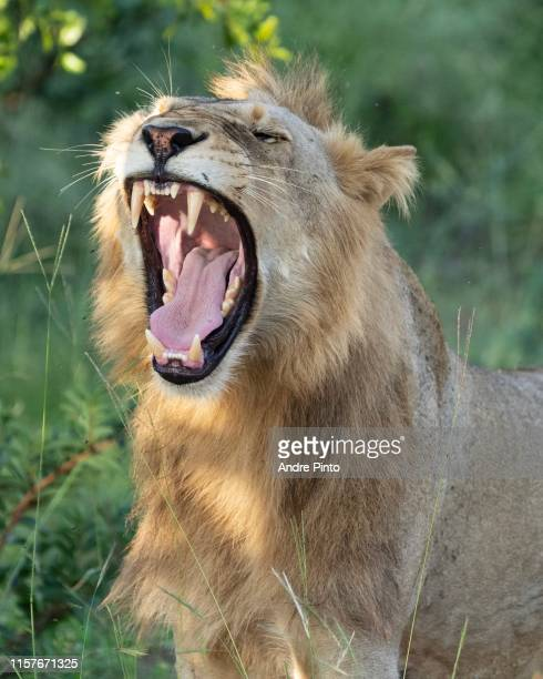 lion in kruger - mpumalanga province stock pictures, royalty-free photos & images