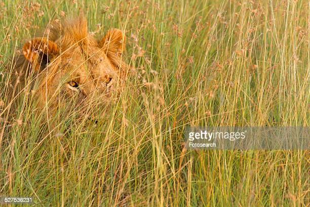 Lion in long green grass