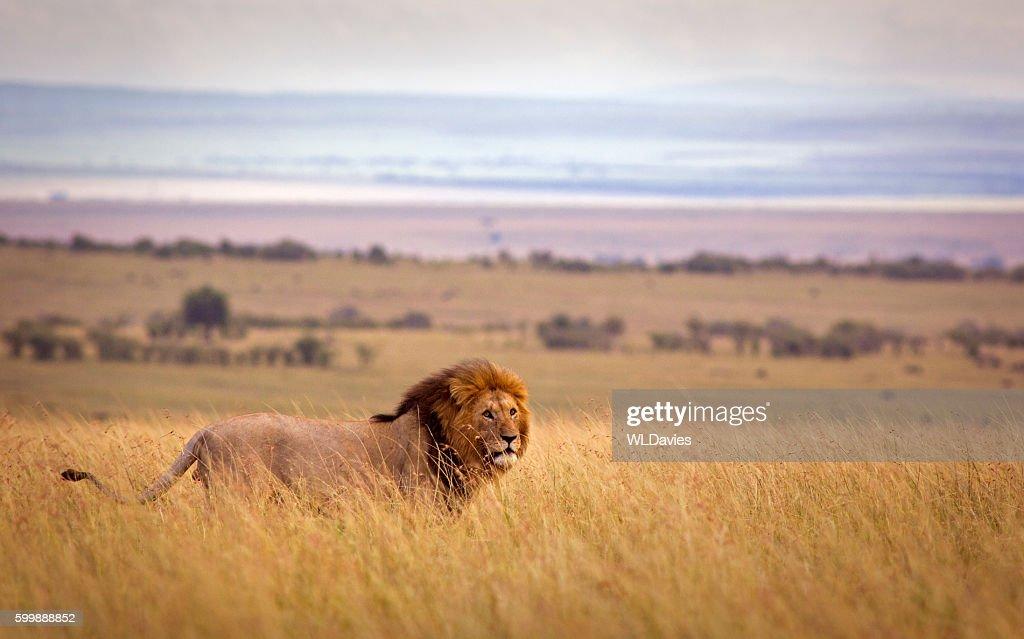 Lion in savannah : Stock Photo