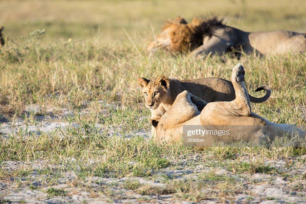 ライオンのブッシュ ベルド : ストックフォト