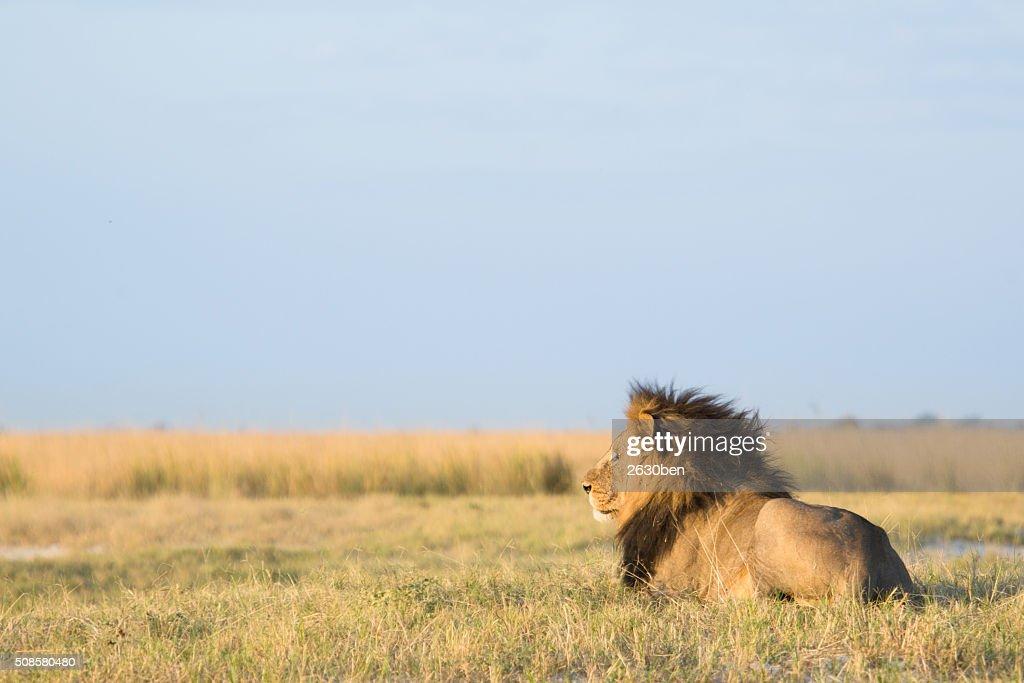 Lion in the bush veld : Stockfoto