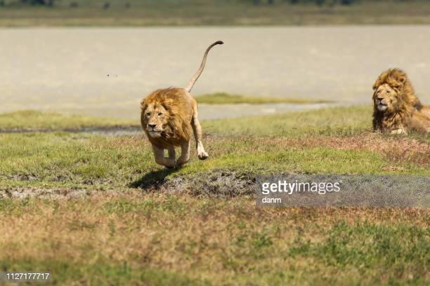 lion in the grass ready to hunt in national park of ngorongoro, tanzania - 動物を使うスポーツ ストックフォトと画像