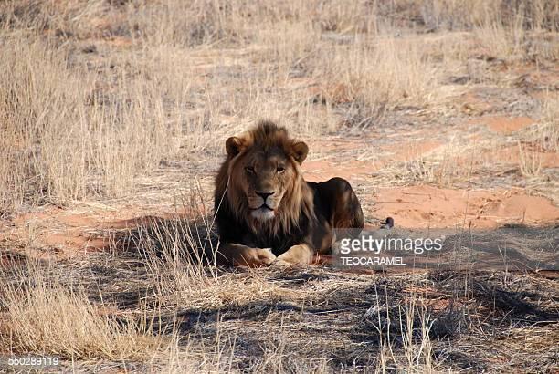 Lion in the savanna.