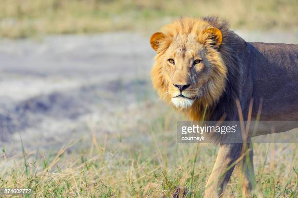 lion in the wild. - southern africa stock pictures, royalty-free photos & images