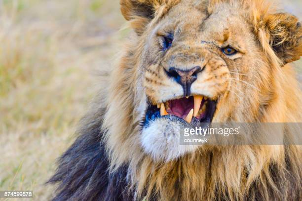 lion in the wild. snarling and roaring. - grumpy old man stock pictures, royalty-free photos & images