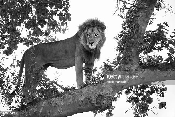 Lion in tree, Botswana
