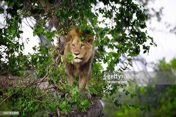 lion in tree, botswana - moremi wildlife reserve stock photos and pictures
