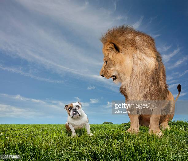 lion intimidating an english bulldog - lion feline stock pictures, royalty-free photos & images