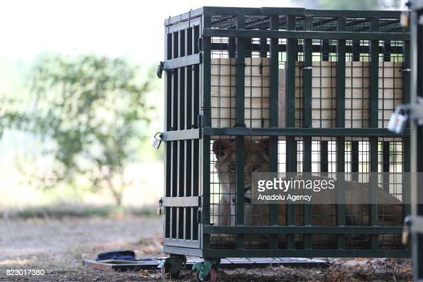 Lion is seen in a cage in Bursa, Turkey on July 26, 2017. Three lions, two tigers, two hyenas and two bears transferred to animal facilities in...