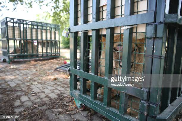 A lion is seen in a cage in Bursa Turkey on July 26 2017 Three lions two tigers two hyenas and two bears transferred to animal facilities in Turkey's...