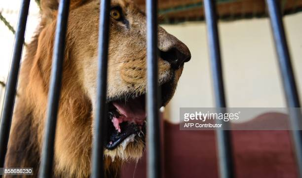 A lion is seen inside a cage at Egypt's Giza Zoo in Cairo on August 1 2017 / AFP PHOTO / MOHAMED ELSHAHED