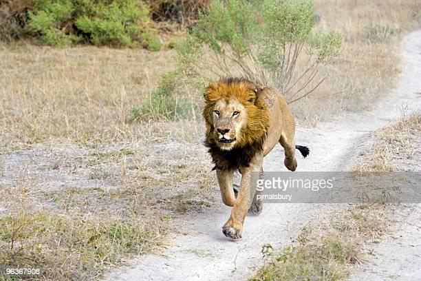 ライオンのジョギング