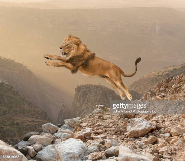 lion jumping on mountain - lion feline stock pictures, royalty-free photos & images