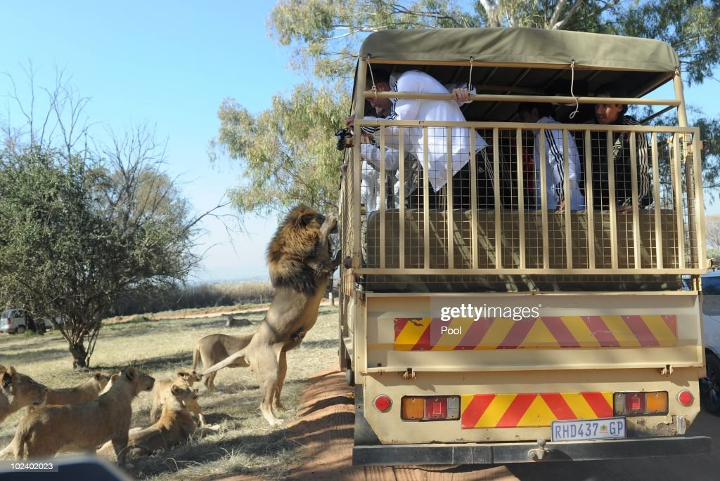 A lion jumps at the van while players of the German national football team take photos during a visit of the Lion Park on June 25, 2010 in Lanseria, South Africa.