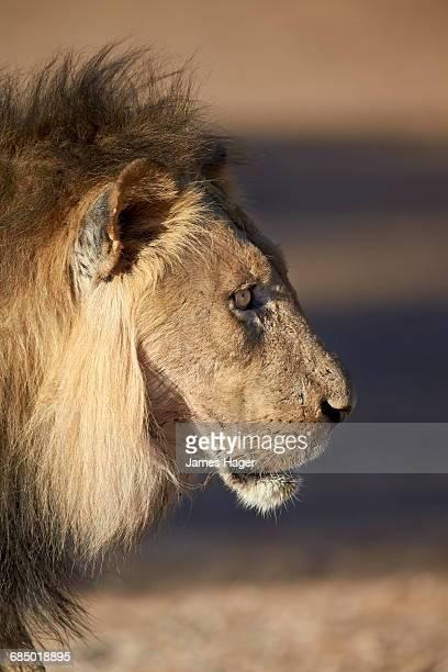 Lion (Panthera leo), Kgalagadi Transfrontier Park, encompassing the former Kalahari Gemsbok National Park, South Africa, Africa