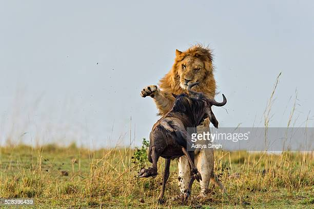 lion kill in africa - animals attacking stock pictures, royalty-free photos & images