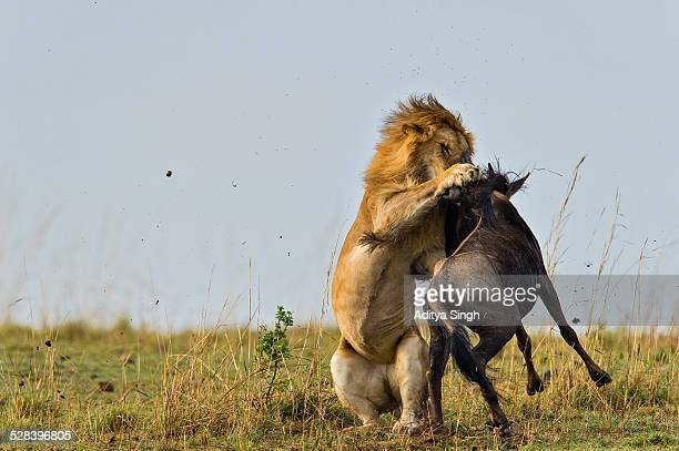 lion kill in africa - lion attack stock pictures, royalty-free photos & images