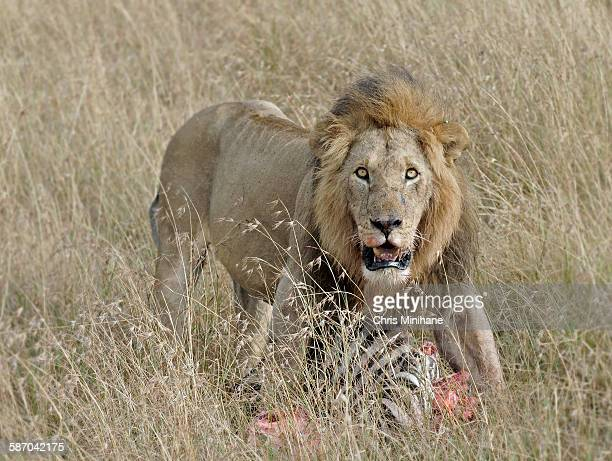 Lion Kill in Tall Grass