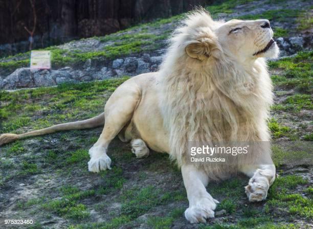 lion king - white lion - fotografias e filmes do acervo