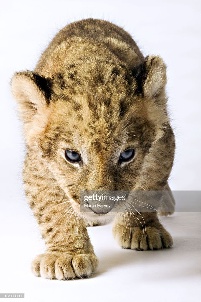 Lion (Panthera leo). Lion cub against white background. Studio shot. Dist. Sub-Saharan Africa. : Stock Photo