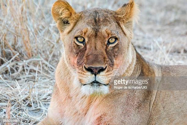Lion, lioness, Panthera leo, portrait, Central Kalahari Game Reserve, Botswana