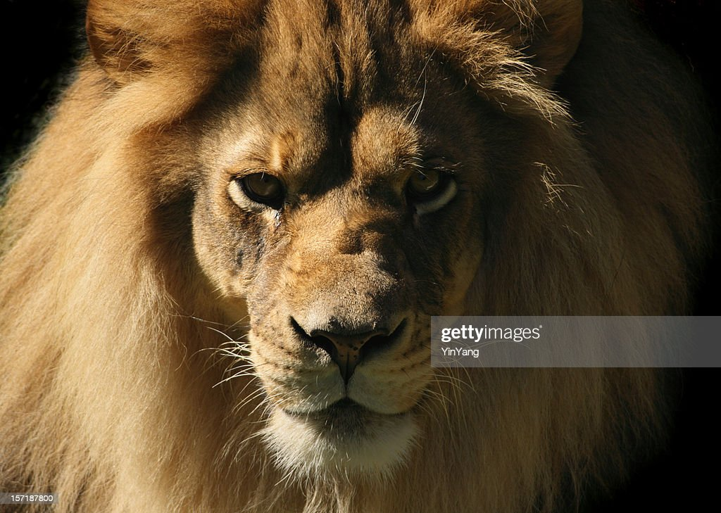 Lion Looking at Camera, Close-up Head and Shoulder Animal Portrait : Stock Photo