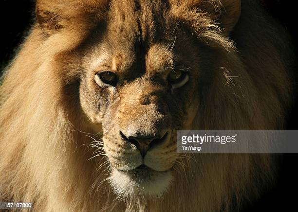 lion looking at camera, close-up head and shoulder animal portrait - lion feline stock pictures, royalty-free photos & images